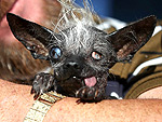 13 of the Ugliest Dog in the World Winners