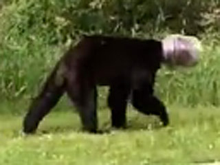 VIDEO: Bear with Head Stuck in Cheese Ball Container Gets Rescued by Man's Lasso