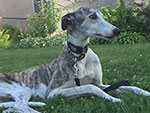Animal Group Helps Owner Find Missing Greyhound, Then Takes Her Away