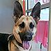 Genius German Shepherd Plots Her Escape From California Animal Shelter