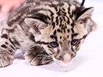 Find Out Why Clouded Leopards Are the 'Missing Link' Among Big Cats