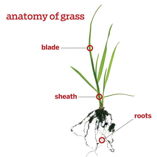 a closeup blade of grass from root to tip