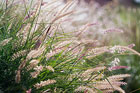 Grasses