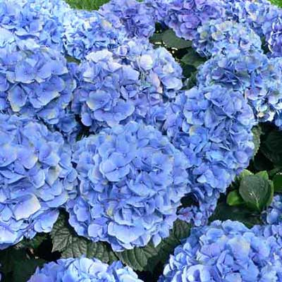 a hydrangea with blue flowers in full bloom