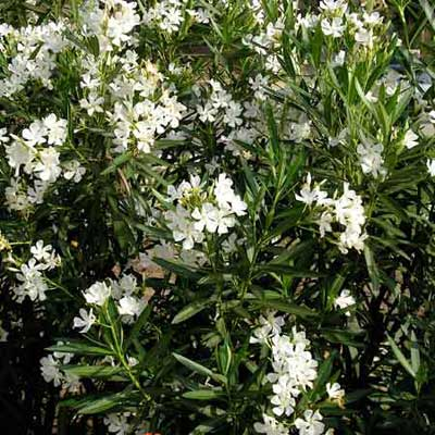 oleander with white flowers in full bloom