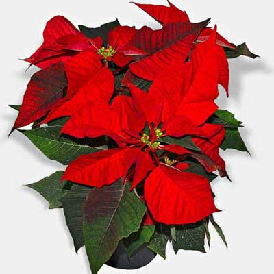 poinsettia leaves on a white surface