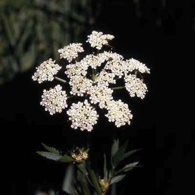 a single stalk with white water hemlock flowers