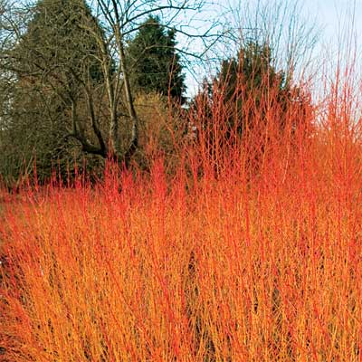 red-twig dogwood for bright colored fall trees and shrubs