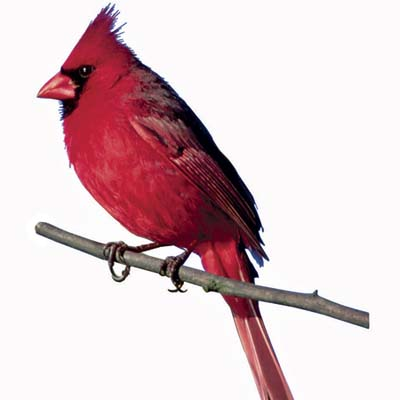 http://img2.timeinc.net/toh/i/g/1008_what_birds_eat/cardinal.jpg