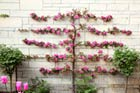 Grow Espaliered Trees for a Slim Fit